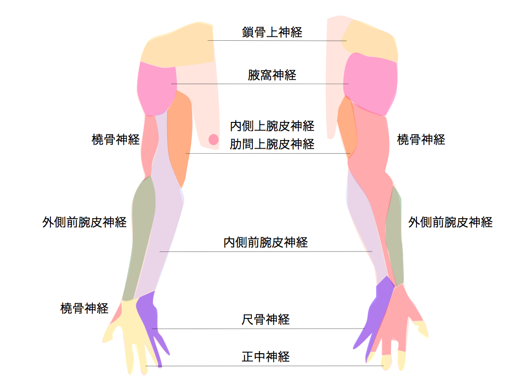 上肢神経.001