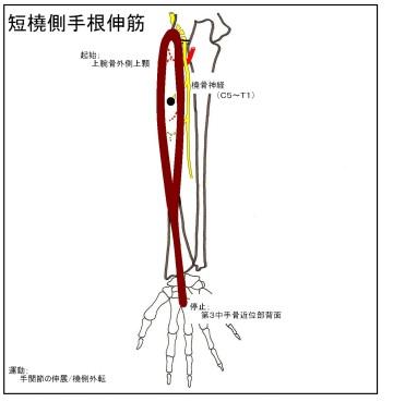 30_短橈側手根伸筋